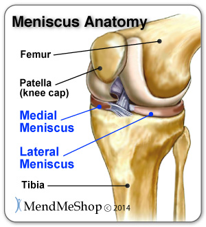 medial meniscus, lateral meniscus, transverse ligament, ACL and MCL anatomy